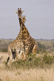 A Tower Of Giraffes Stock Photography