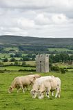 Tower in Ireland with cows. Ancient tower in Ireland with cows in front Royalty Free Stock Photo