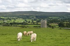 Tower in Ireland with cows. Ancient tower in Ireland with cows in front Stock Photo