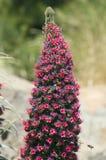 Tower of jewels (Echium wildpretii), symbol flower of the island Royalty Free Stock Image