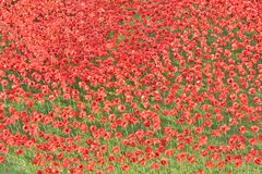 Tower of London with Poppies Royalty Free Stock Photo