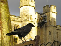 Tower of London raven. Tower of London and captive raven Stock Images