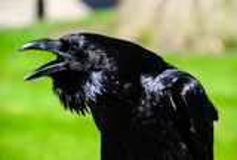 Tower london raven. Tower of london raven scream Royalty Free Stock Image