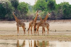 Luangwa River with Giraffes standing on the dry riverbed.  South Luangwa, Zambia Stock Photos