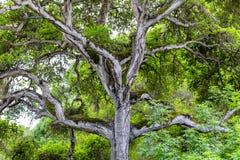 Towering ветви гибридного дерева дуба в реальном маштабе времени Стоковое фото RF