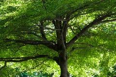Towering высокие лист зеленого цвета дерева и благородные ветви Стоковое Фото