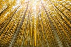 Towering деревья тополя в ферме дерева США Boardman Орегона Стоковые Изображения RF