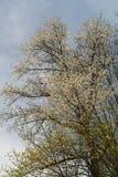 Towering цветене вишневого дерева полностью Стоковая Фотография