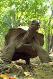 Towering черепаха Aldabra гигантская Стоковые Изображения RF