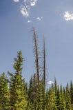 2 towering чуть-чуть дерева Стоковые Изображения RF