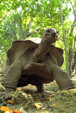 A towering Aldabra giant tortoise Royalty Free Stock Images
