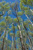 Towering Aspen trees in a forest in New Mexico. Royalty Free Stock Photo