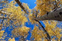 Towering Aspens. Beautiful yellow Aspens tower high above the Colorado mountains Stock Image
