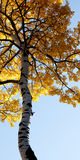 Towering autumn tree. Tree with yellow autumn leaves Royalty Free Stock Images