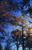 Towering Autumn Treetops. Treetops with turning leaves tower above the ground in the woods of Maine Stock Image