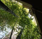 Towering Bamboo Between Two Office Buildings Stock Photo