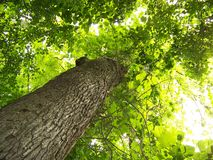 Towering Beech Tree. Shot looking upward into the leaves of a tall beech tree Royalty Free Stock Images