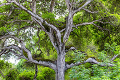 Towering Branches of Hybrid Live Oak Tree Royalty Free Stock Photo