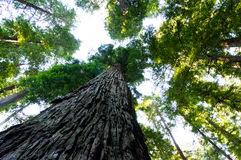 Towering California Redwood trees. View of towering California redwood trees looking up through leaves royalty free stock image