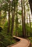 Towering Cedars Stock Photo