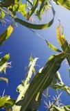 Towering Corn Stalks Stock Photography