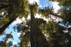 Towering Douglas Firs. Cathedral Grove National Park.  British Columbia Royalty Free Stock Photos