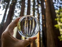 Stand of Giant Redwood Sequoia Trees in California Forest Captur. Towering Giant Sequoia Redwood Trees captured in glass ball held in hand with lines of trunks royalty free stock photos