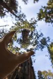 Giant Sequoia Redwood Trees Captured in Glass Ball Looking Up Tr. Towering Giant Sequoia Redwood Trees captured in glass ball held in hand from low angle view stock images