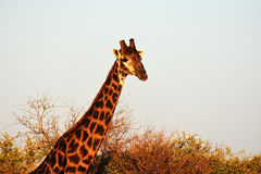Towering giraffe Stock Images