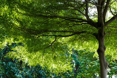 Towering High Tree Green Leaf and lofty Branches Stock Images