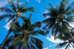 Palm Trees with Blue Sky Royalty Free Stock Photo