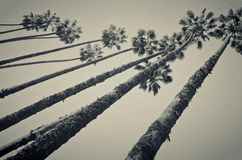 Towering Palms Royalty Free Stock Images