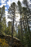 Towering Pine Trees Stock Photography