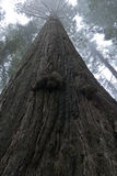 Towering Redwood Tree Stock Photography