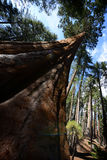 Towering Sequoia Pierces the Sky in Sequoia National Park Royalty Free Stock Photos
