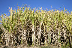 Towering Sugar Cane Stock Photos