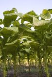 Towering tobacco Royalty Free Stock Images