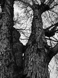 A Towering Tree in All It`s Wisdom. This tree`s wisdom is evident in the wrinkles in is delicate bark Stock Photography