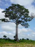 Towering tree in a west african savanna. Enormous tree in west africa Royalty Free Stock Photos