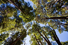 Towering trees. Looking up at towering trees Stock Image