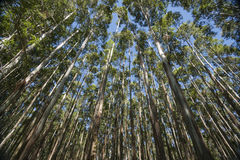 Towering trees. Hamakua Coast, eucalyptus trees. Stock Photography