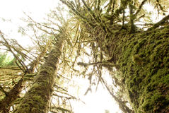Towering Trees in Hoh Forest in Olympic National Park Royalty Free Stock Photos