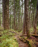Towering Trees, Olympic National Park, WA Stock Photo