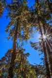 Towering trees Stock Photo