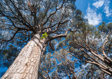 Towering trees. Skyward angle view of large old trees Royalty Free Stock Images