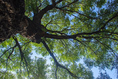 Towering trees Royalty Free Stock Images