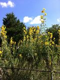 Towering Yellow Flowers. Tall plants that produce an array of yellow Stock Photography