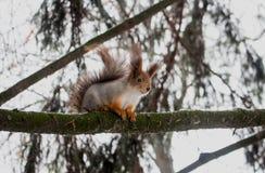 Towersquirrel ТВ Стоковые Фото