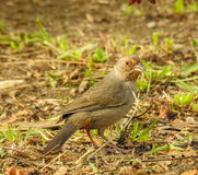 Towhee de la Californie Image stock