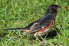 Towhee oriental masculin (erythrophthalmus de Pipilo) Photo stock